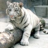 古庄晃(飼育員)のホワイトタイガー事故の原因,理由!トラは今後どうなる?